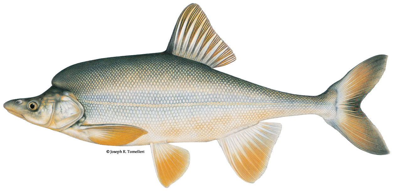 What is a Humpback Chub?