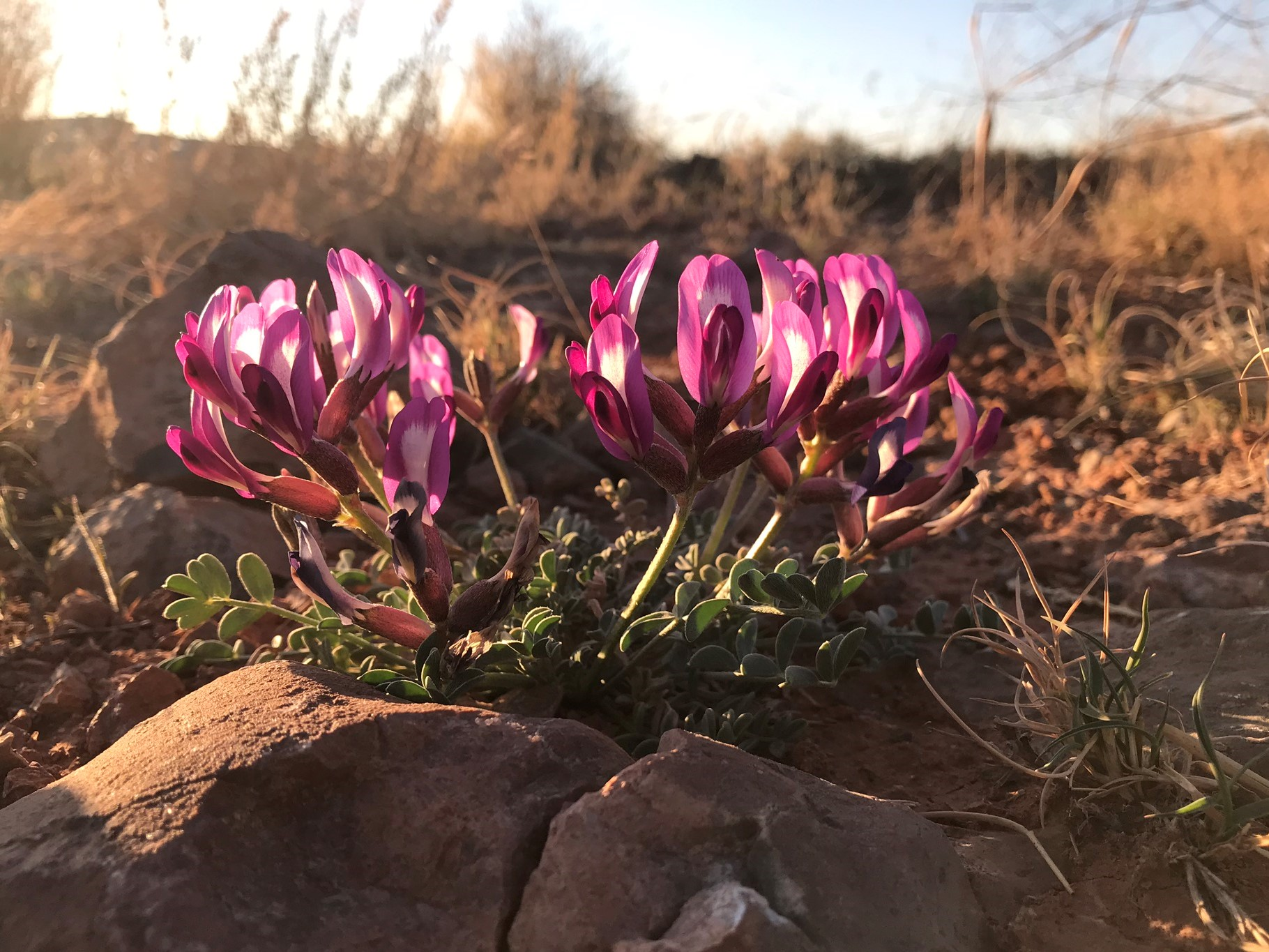Crescent Milkvetch near Moab Utah
