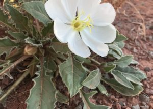 Dwarf evening primrose near Moab Utah