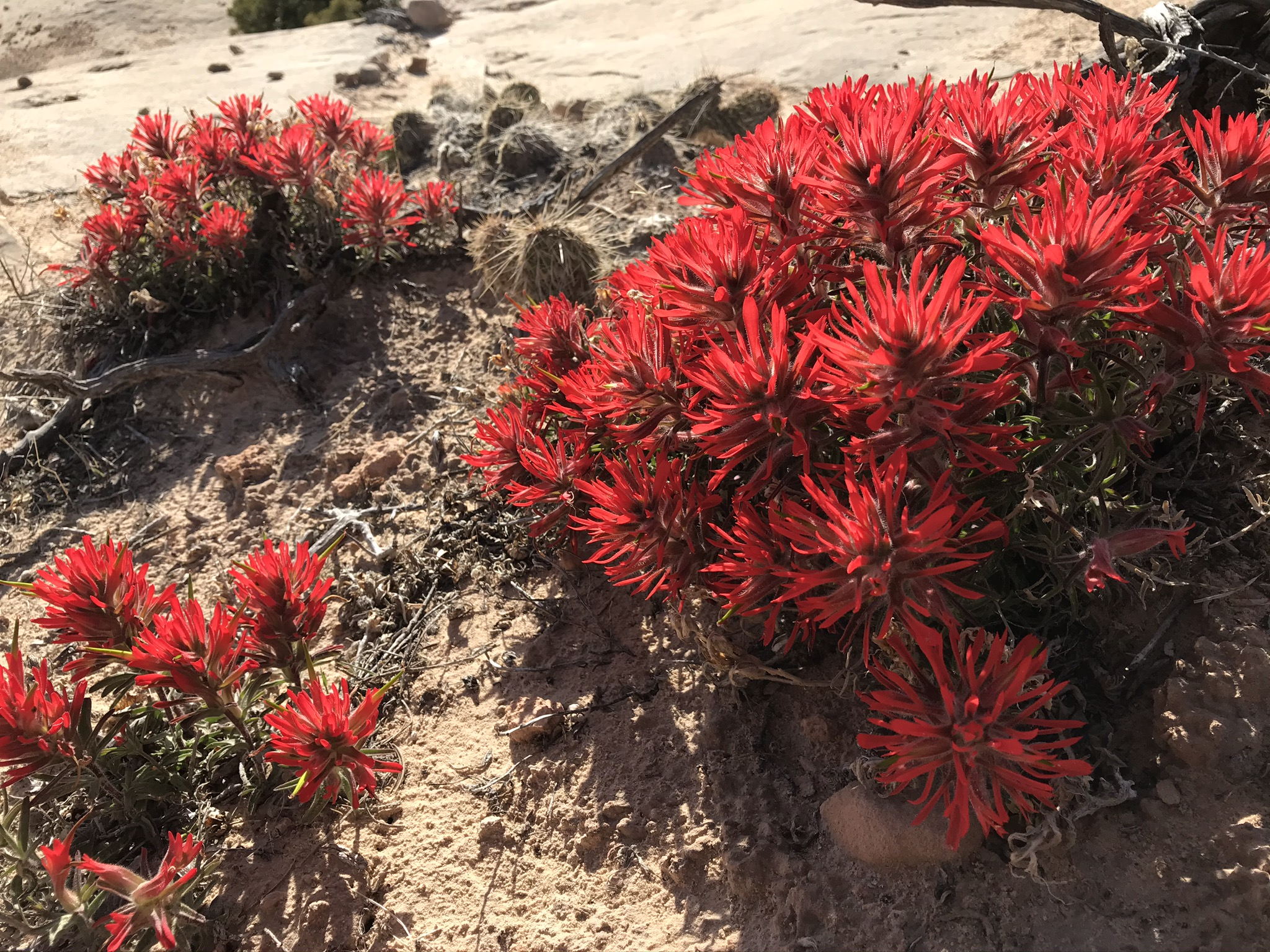 What's Poppin' – Indian Paintbrush – Moab Flowers