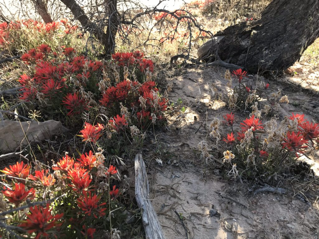 Indian Paintbrush Moab utah